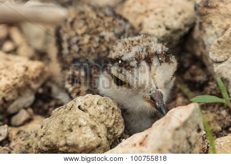 Ringed Plover ( Charadrius Dubius ) Hiding Among The Stones