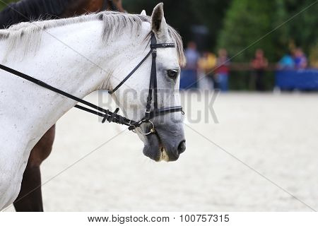Side View Head Shot Of A Gray Dressage Horse During Training