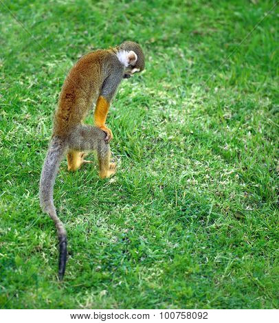 Little Monkey Searching For Something In The Grass