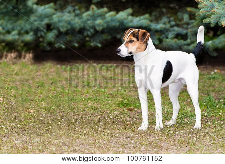 Smooth Fox Terrier stands.