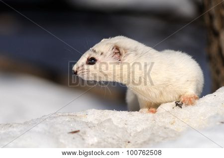 Winter Portrait Of Least Weasel