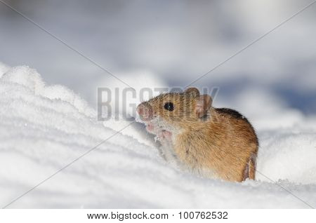 Striped Field Mouse In Snow