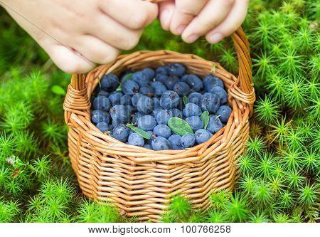 Ripe juicy blueberries and honeysuckle