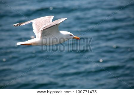 Gull Above Sea