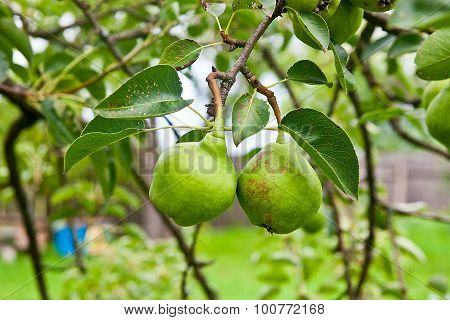Pear Fruits On The Tree In The Fruit Garden.