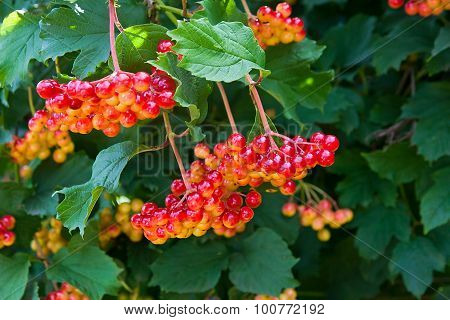 Close Up Of Bunches Of Red Berries Of A Guelder Rose Or Viburnum Opulus Shrub.