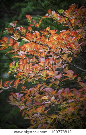 Dogwood Leaves Changing Color