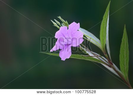 Single ruellia tuberosa flower front focus.