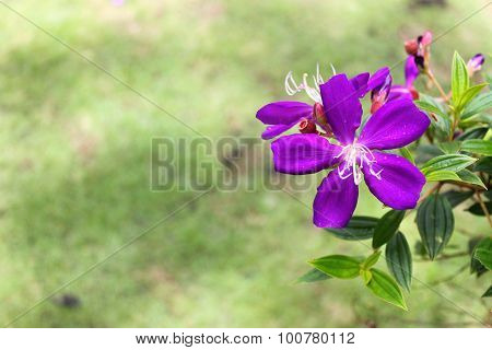 Purple flowers bloossom in Tao Dan park, Vietnam