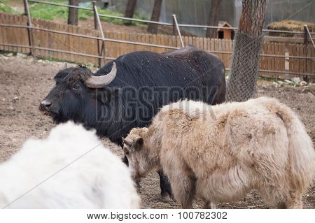 Three buffalos in enclosure