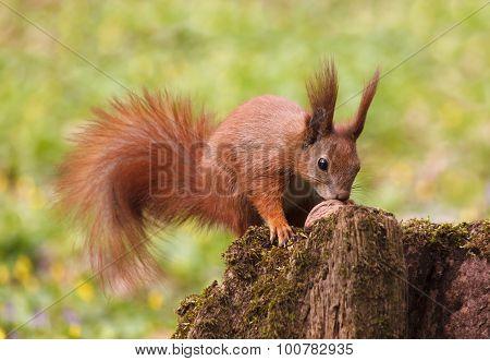 Squirrel With Walnut