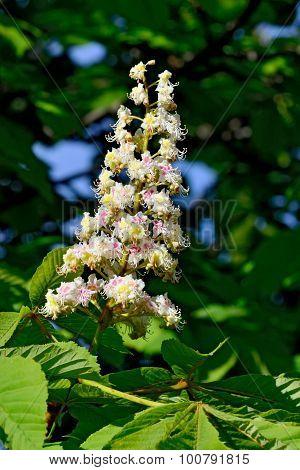Flower Chestnut (lat. Castanea) Closeup