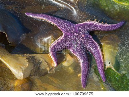 Sun Bathing Purple Sea Star