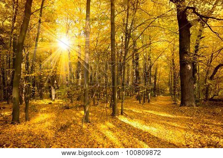 Gold Autumn landscape with sunlight and sunbeams - Beautiful Trees in the forest, fall season
