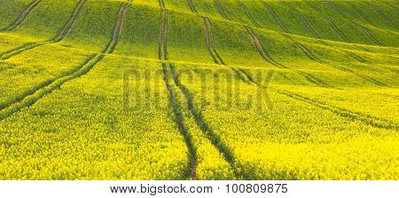 Panoramic background of beautiful yellow-green floral canola field - horizontal