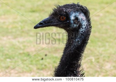 Emu Left Face and Neck