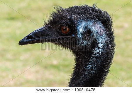 Emu Left Face and Neck Close Up