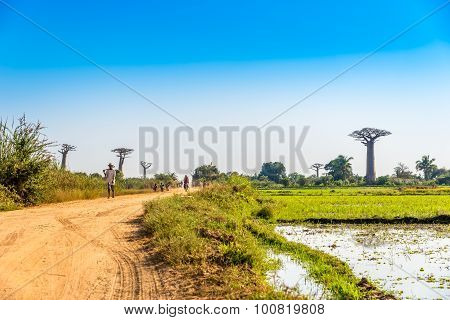 Road To Baobabs Avenue