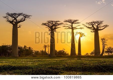 Evening At The Baobab Avenue