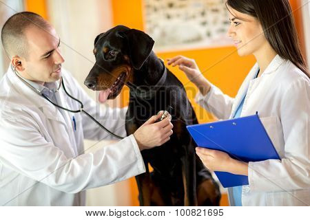 Veterinarians listen sick Great Done dog with stethoscope in vet clinic