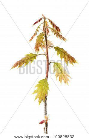 Oak Twig
