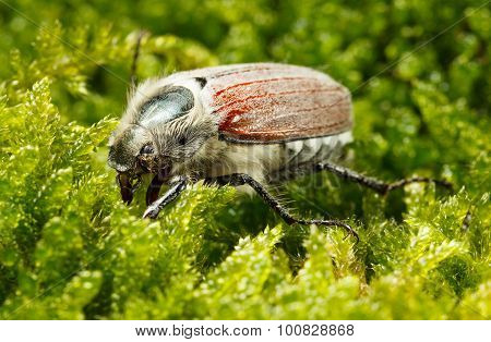 May Bug In Moss