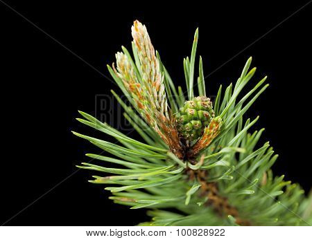 Macro Of Pine Twig With Cone