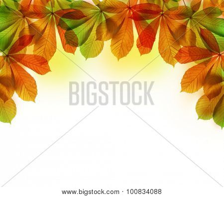 Autumn leaves of chestnut tree (Aesculus hippocastanum) isolated on white background