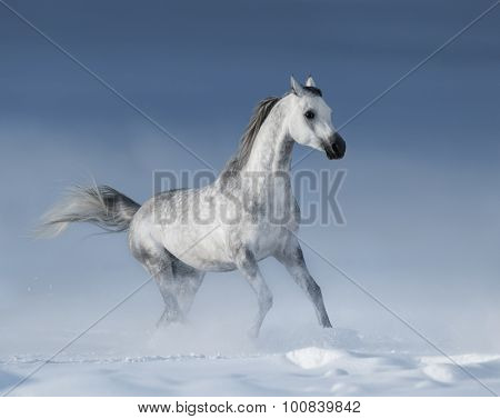 Purebred  grey arabian horse galloping over meadow in snow