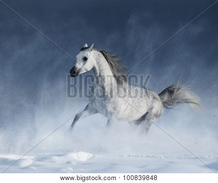 Grey arabian horse galloping during a snowstorm