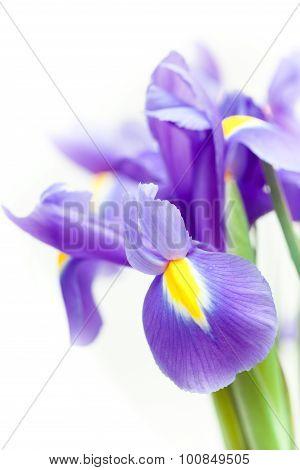 violet yellow iris blueflag flower on white backgroung