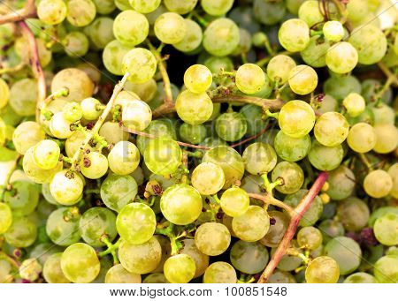 Green ripe autumn fall grapes