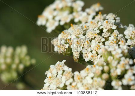 Flower Ageratum