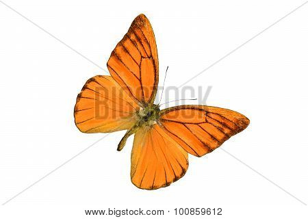 Orange Albatross Butterfly (appias Nero)