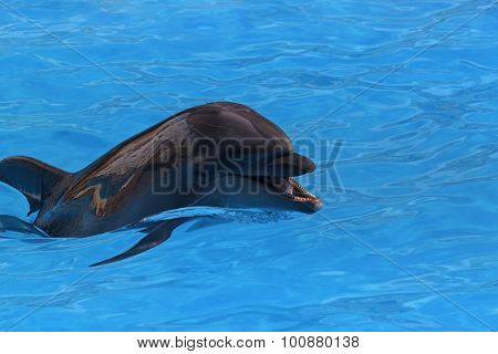 Dolphin In Blue Water