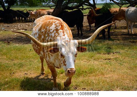 Friendly Longhorn Steer