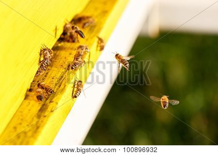 Domesticated Honeybees In Flight, Returning To Their Beehive