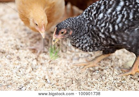 Two Young Pullets Eating Grass