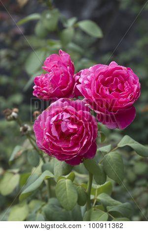 Gloriusly Pink Summer Roses