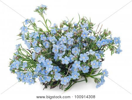 Forget-me-flower
