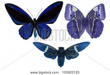macro photo of blue and black butterflies isolated on white background