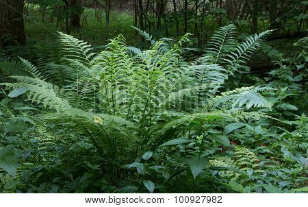 Large Fern Bunch In Summer Forest