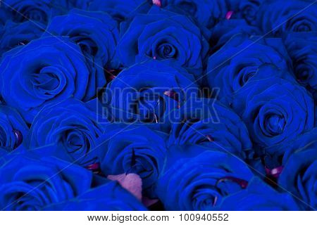 many blue roses in shallow DOF