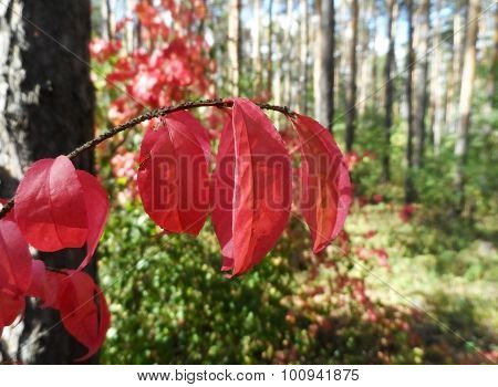 Red Leaves In Forest