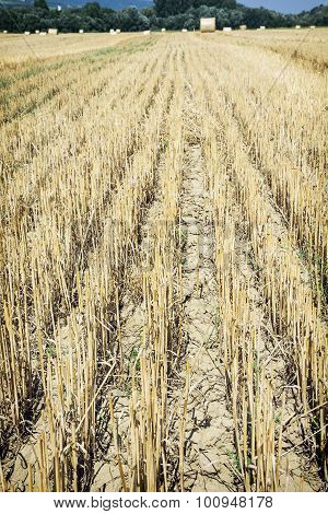Straw Stubble On The Field