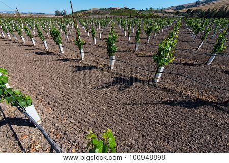 Rows Of New Vines Grow In Vineyard