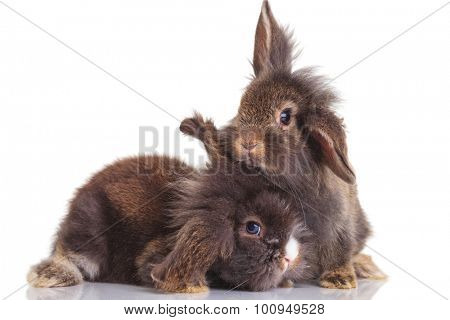 Side view of two cute lion head rabbit bunnys posing on isolated background.