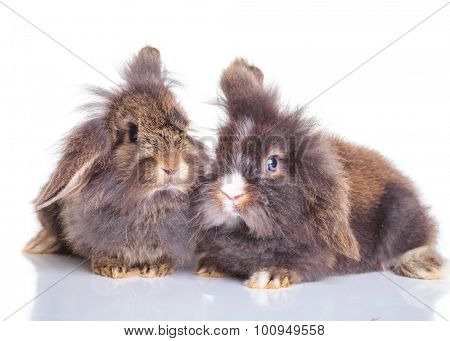Adorable lion head rabbit bunnys lying down together on isolated background, side view.