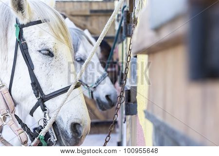 Horses On A Stable.
