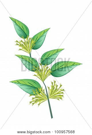 Bunch Of Night Blooming Jasmine On White Background